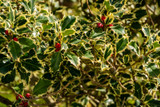 3 Ilex Aquifolium 'Argentea Marginata' / Silver-Margined Holly in 2L Pots, Excellent Hedging