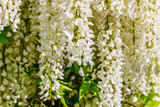 Wisteria 'Shiro Noda' / Japanese White Wisteria Alba in 2L Pot, Fragrant Flowers