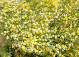 1 Broom - Cytisus 'Luna' Plant 2-3ft In 2L Pot, Stunning Fragrant Yellow Flowers