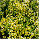 3 Cytisus 'Luna' Broom Plants In 2L Pots, Stunning Fragrant White/Yellow Flowers