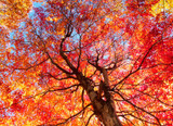 Acer rubrum  / Red Maple, 3-4ft Tall In 1L Pot, Stunning Autumn Colours