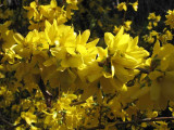 3 Forsythia intermedia 'Spectabilis' Hedging In 2L Pots, Yellow Spring Flowers