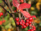 1 Hollyberry Cotoneaster 2L Pot, Big Red Berries For Songbirds Bullatus Hedging