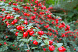 100 Cotoneaster suecicus Coral Beauty In 9cm Pots, Orange-Red Berries