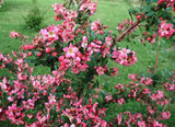 100 Escallonia 'Donard Radiance'Hedging Plants Evergreen