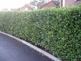 3 Griselinia Fast Growing Evergreen Hedging Plants, New Zealand Laurel 2.5-3ft Tall in 2L Pots