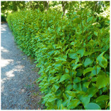 3 Griselinia Hedging Plants, 2ft Tall in 2L Pots, Fast Growing Evergreen New Zealand Laurel