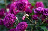 'Ebb Tide' Very Fragrant Floribunda Rose, Beautiful Smoky Plum Purple Flowers