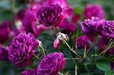 'Ebb Tide' Very Fragrant Floribunda Rose Bush, Beautiful Smoky Plum Purple Flowers