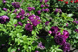Rosa Twilight Zone Very Fragrant Grandiflora Rose Bush, Double Old Fashioned Flowers