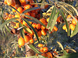 1 Sea Buckthorn 1-2ft Tall in 2L Pot Edible Coastal Hedging, Hippophae Rhamnoides 40-60cm