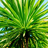 1 Cordyline Australis Plants / Cabbage Palm Trees, 2-3ft Tall in a 2L Pot