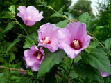 1 Hibiscus Syriacus / Rose of Sharon, 2-3ft in 2L Pot, Stunning Korean Rose