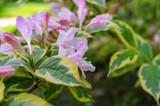 Weigela Florida 'Sunny Princess' 1-2ft in 2L Pot, Lovely Pink Bell-shaped Flowers