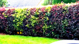 10 Mixed Green & Purple Beech Hedging Plants 2-3ft Fagus Sylvatica Trees