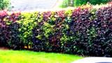 50 Mixed Green & Purple Beech Hedging Plants 2-3ft Fagus Sylvatica Trees