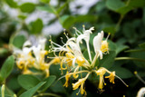 Lonicera japonica 'Hall's Prolific' in a 2L Pot, Sweetly Scented Flowers