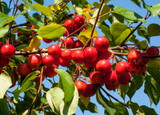 Malus 'Gorgeous' Tree 3-4ft Tall In 3L Pot, Stunning Red Apples, Brilliant For Crab Apple Jelly