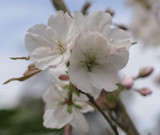 Prunus Serrulata 'Sunset Boulevard' 4-5ft Tall In 3L Pot, Stunning Blush White Flowers
