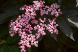 Sambucus Nigra 'Black Beauty' Elder Flower,  4ft Tall in 3L Pot, Stunning Purple Foliage