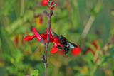 Salvia 'Royal Bumble' / Sage Royal Bumble in 2L Pot, Bee Friendly, Stunning Red Flowers