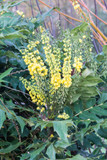 Mahonia 'Winter Sun' / Oregon Grape Winter Sun in 2L Pot, Evergreen Shrub, Yellow Flowers