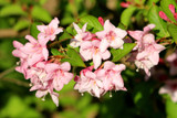 Weigela Florida 'Pink Princess' in 2L Pot, Stunning Pink Bell-shaped Flowers