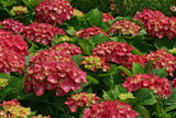 Hydrangea macrophylla 'Leuchtfeuer' In 2L Pot, Stunning Large Vibrant Flower Heads