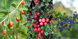 3 Mixed Fruit Bushes - Goji Berry, Cranberry & Blueberry In 9cm Pots, Fresh Fruit From Your Garden