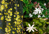 3 Mixed Jasmine Plants, Beautiful Selection Of Jasminum For Any Garden!