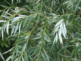 20 White Willow 3-4ft,Salix Alba Hedging Plants, Quick Growing Screen