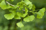 3 Ginkgo Biloba (Maidenhair Tree) , 2-3ft Tall In 2L Pots, Ginkgo Tree