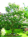Catalpa Bignonioides 4-5ft Tall, Indian Bean Tree, Stunning Green Leaves