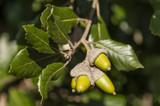 Evergreen Holm Oak Tree 3-4ft Tall 'Quercus Ilex', Ornamental Tree, Grow Acorns
