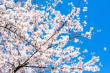 Prunus × yedoensis Yoshino Cherry / 'Somei-yoshino' Flowering Cherry 3ft Tall