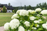 Hydrangea Arborescens 'Annabelle' In 9cm Pot, Stunning Large Flower Heads