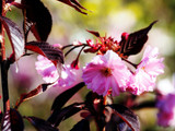 Flowering Cherry Royal Burgundy / Prunus serrulata 'Royal Burgundy' 4ft Tall, Purple Foliage