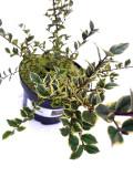 3 Myrtle Apiculata Glanleam Gold / Myrtus Luma In 9cm Pots, Pretty White Flowers