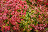 3 Nandina Domestica Fire Power / Heavenly Bamboo 'Fire Power' In 9cm Pots, Stunning Autumn Leaves