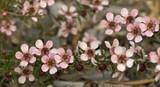 Leptospernum scoparium Pink Cascade / New Zealand Tea Tree 'Pink Cascade' In a 9cm Pot,  Attractive to Butterflies
