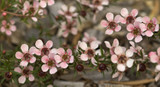 3 Leptospernum scoparium Pink Cascade / New Zealand Tea Tree 'Pink Cascade' In 9cm Pots,  Attractive to Butterflies