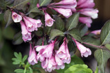 3 Weigela Florida Foliis Purpureis / Weigela 'Foliis Purpureis' In 9cm Pots, Stunning Pink Flowers