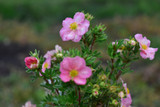 3 Potentilla Fruticosa Pretty Polly / Potentilla 'Pretty Polly' In 9cm Pots, Lovely Pink Flowers
