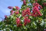 Aesculus carnea x Briotii /  Red Flowering Chestnut 40-60cm Tall, Stunning Tree