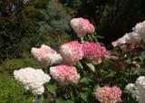 Hydrangea paniculata 'Vanille Fraise' 1-2ft, Stunning pink-white flowers