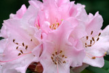 Rhododendron 'Christmas Cheer' in 5L Pot, Stunning Pink Flowers