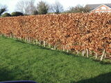 200 Green Beech Hedging Plants 2 Year Old, 1-2 ft Grade 1  Hedge Trees 40-60cm