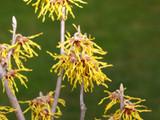 Hamamelis × intermedia 'Arnold Promise' 2-3ft in 2L Pot, Lovely Winter Flowers