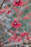 Hamamelis 'Diane' / Witch Hazel 1-2ft in 2L Pot, Lovely Red Winter Flowers