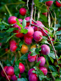 Big Juicy Victoria Plum Tree, 6ft Tall, Sweet Juicy and Tasty, Ready to Fruit